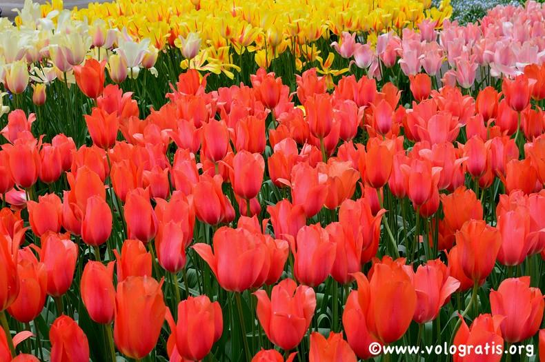 parco keukenhof tulipani olandesi