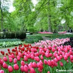 I tulipani del Parco Keukenhof in Olanda: il video