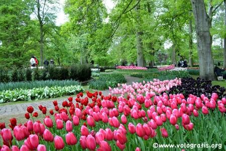 tulipani del parco keukenhof lisse