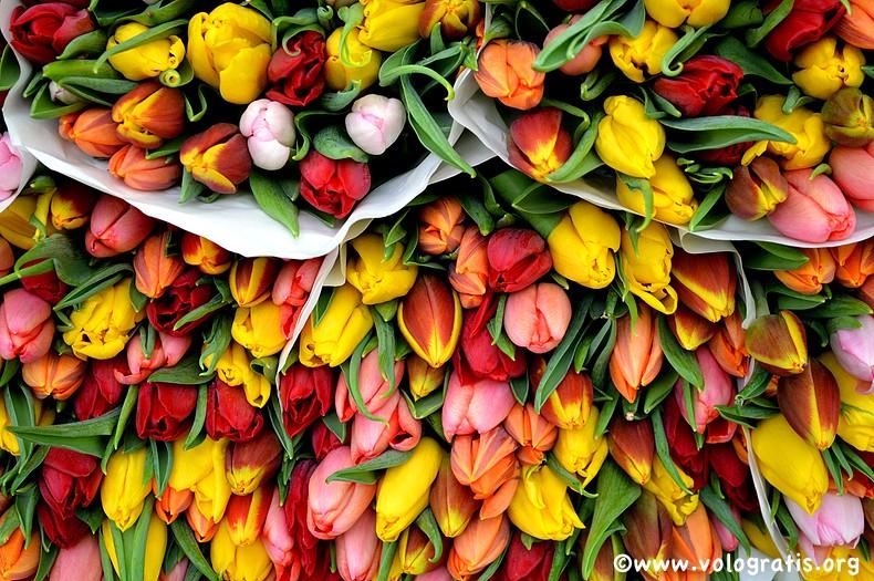 tulipani al mercato dei fiori di utrecht