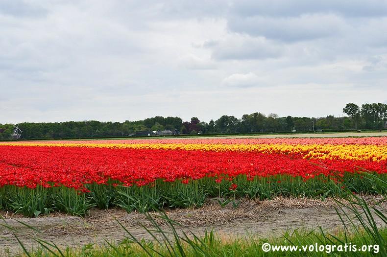 tulipani canali parco keukenhof