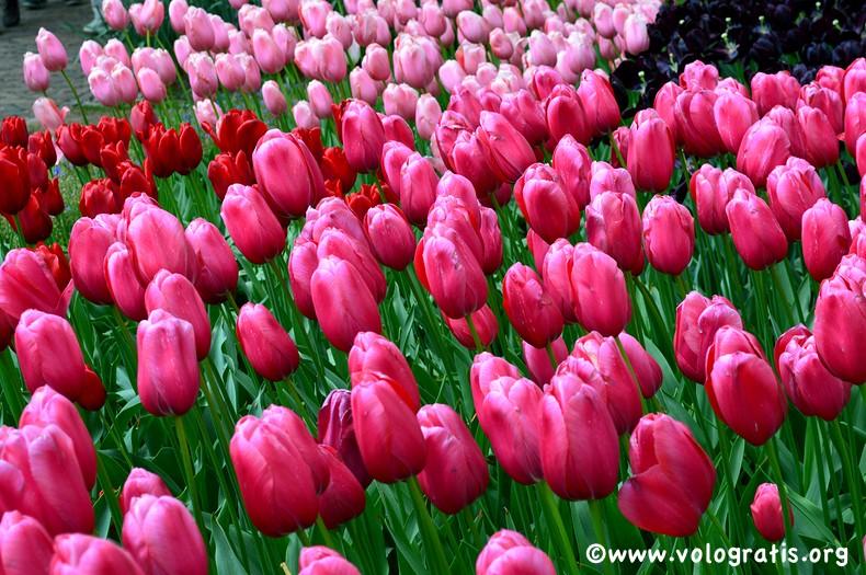 parco tulipani olanda (2)