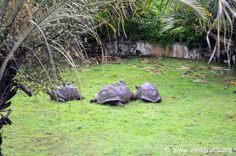 tartarughe mauritius