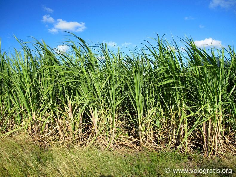 canne da zucchero mauritius