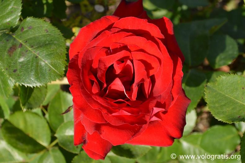 rosa roseto comunale roma
