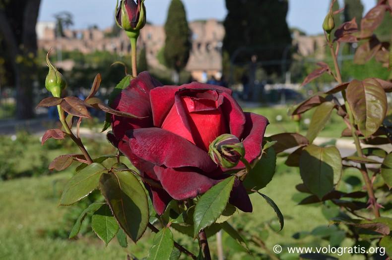 rosa rossa roseto comunale di roma