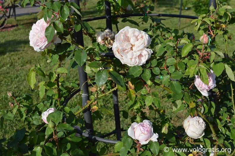 rose bianche roseto comunale di roma
