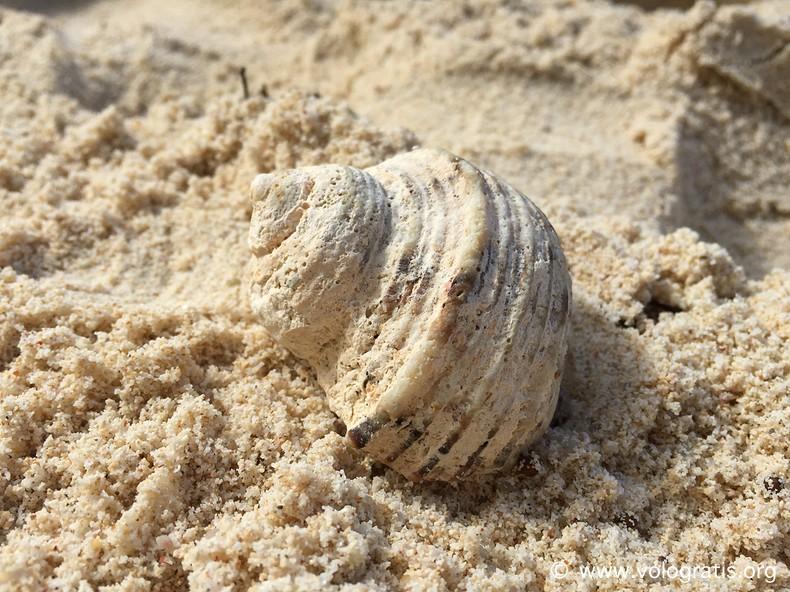conchiglia seychelles