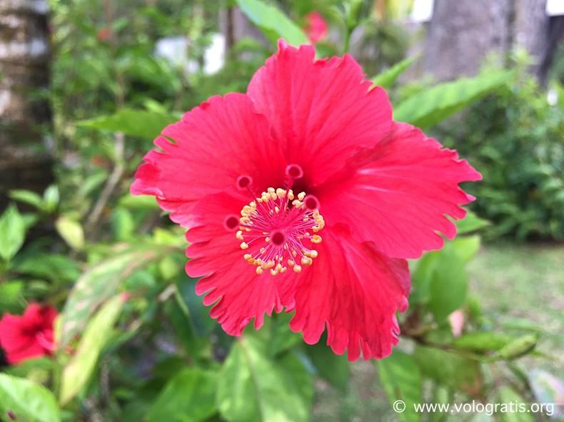 fiore frangipane