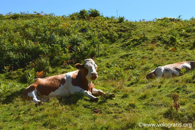foto carinzia mucche