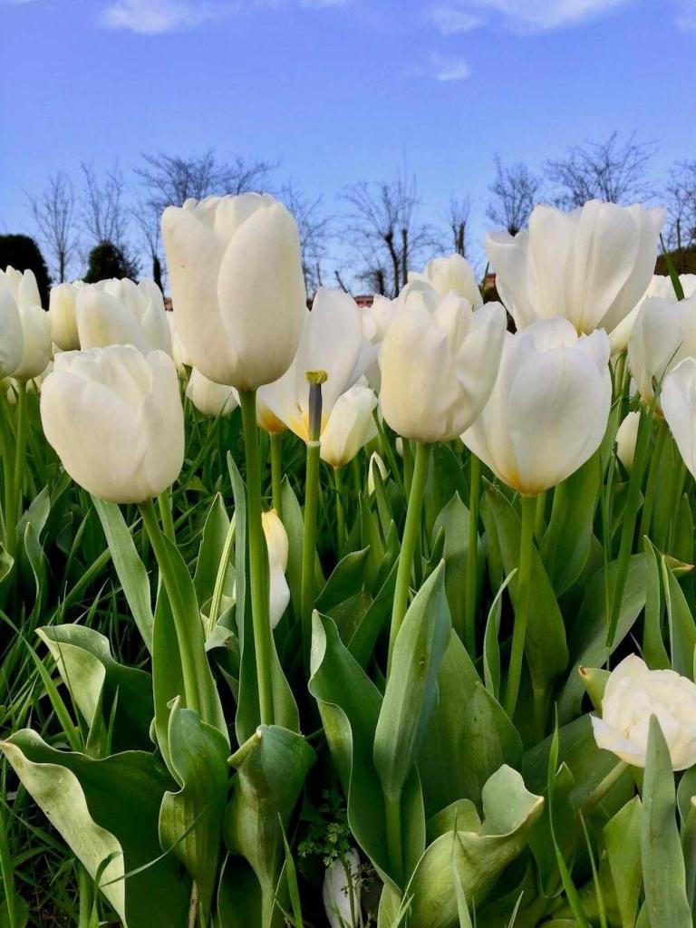tulipani roma
